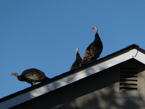 2018-10-05 - Turkeys on the Roof
