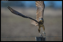 Brown Falcon—Stepping Out