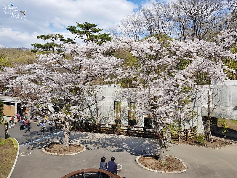 sapporo maruyama zoo sakura trees view