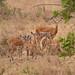 Impalas babies daycare (Uganda) by Bruno Conjeaud