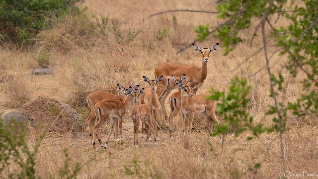 Impalas babies daycare (Uganda), Canon EOS-1D X MARK II, Canon EF 100-400mm f/4.5-5.6L IS II USM + 1.4x