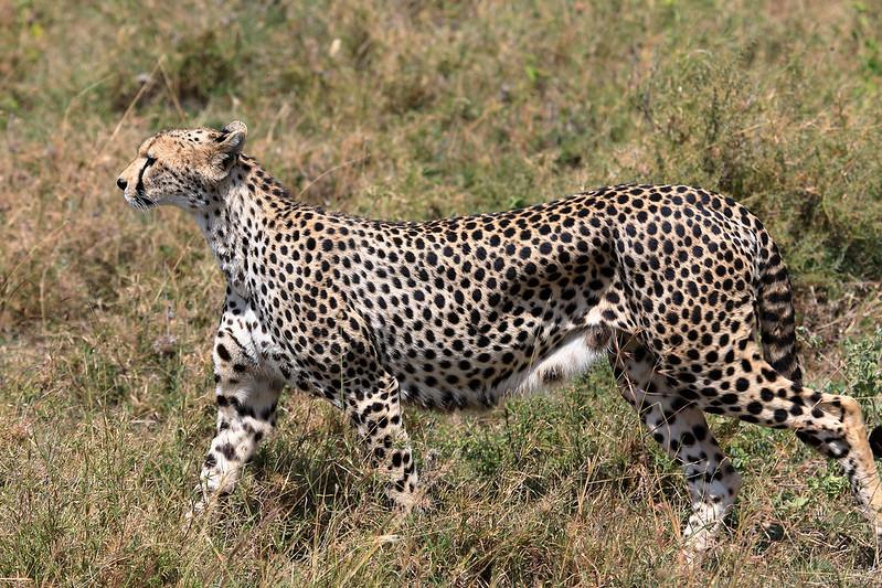 Cheetah alert
