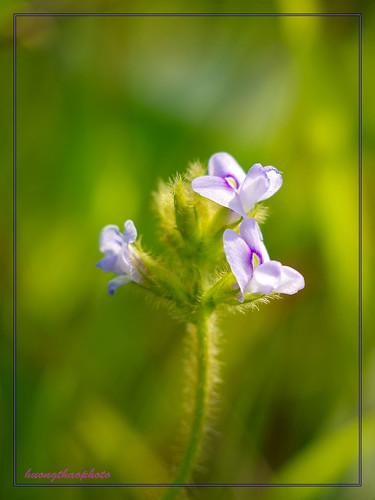Tiny purple wild flower
