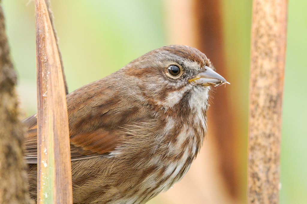 A close-up view of a song sparrow perched in the marsh plants of South Quigley Lake on a rainy October morning at Ridgefield National Wildlife Refuge in Washington