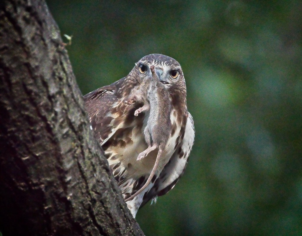 Tompkins red-tail fledgling with the 3rd rodent of the afternoon