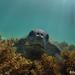 Black turtle feeding on algae