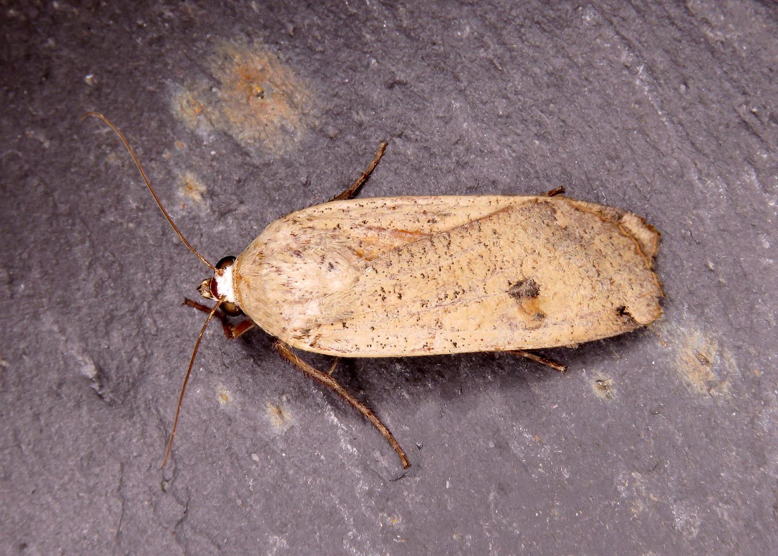 73.342 Large Yellow Underwing - Noctua pronuba