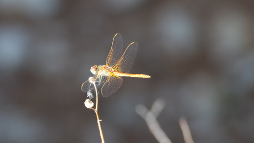 Another dragonfly, Cassis