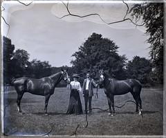 Colman's horses, c.1904