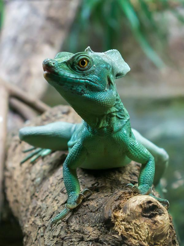 Plumed basilisk, Singapore Zoo