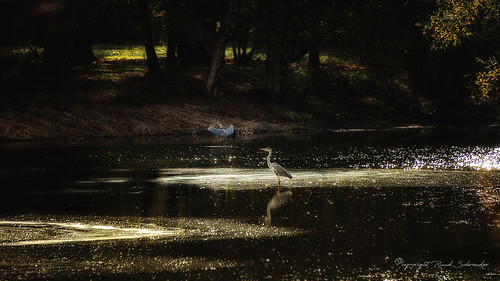 Herons in autumn light