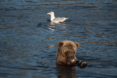 A brown bear eating the Lower Brooks River NPS Photo/Russ Taylor