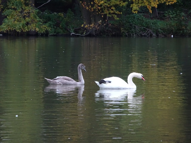 Adult and Adolescent Swans