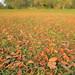 Field of leaves