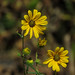 dwarf sunflower (Helianthus 'table mountain') by mimbrava