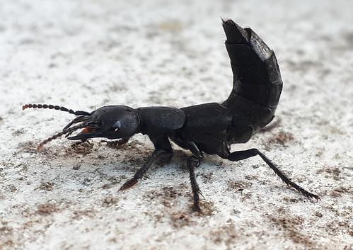 Devil's Coach-horse (Ocypus olens)