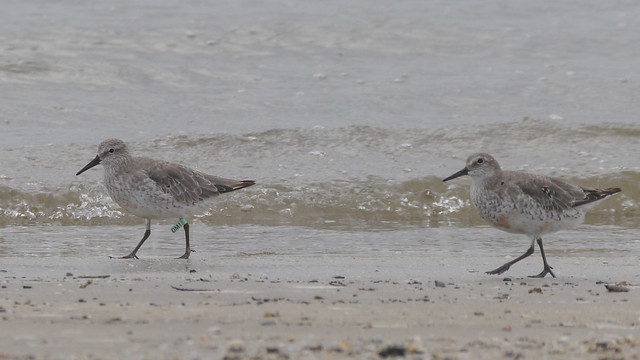 Red Knot - 4