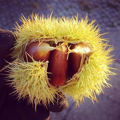 #chestnut #foraging season started :yum: