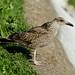 Juvenile Lesser Black-backed Gull --- Larus fuscus