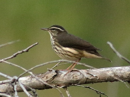 Louisiana Waterthrush 03-20181007