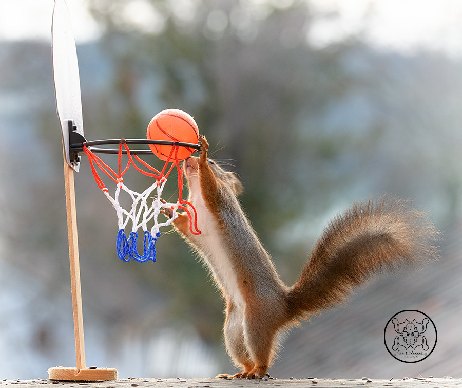 red squirrel with an basketball and an backboard