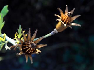 Matilija Poppy Seed Pods