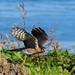 Sparrow Hawk Burton Mere RSPB F00399 D210bob DSC_5828