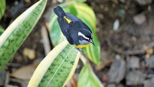 Bananaquit from above