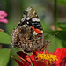 Rarely seen in 2018 - Red Admiral by Vidterry