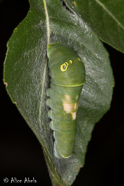 Two-tailed Swallowtail (Papilio multicaudata) - Larva