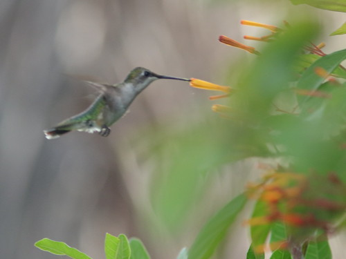 Ruby-throated Hummingbird at Firebush 03-20181009
