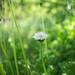 Korean dandelion (Taraxacum coreanum) - CZJ Flektogon 35mm f2.8