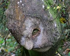 HolderThe old man of the wood - Hampton Wood, Warwicks WLT