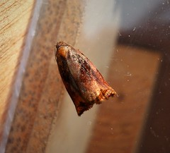 Large Fruit-tree Tortrix. Archips podana