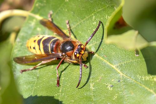 Hoornaar-European hornet (Vespa crabro)