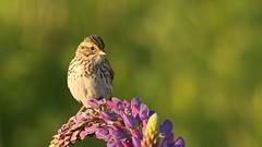 Savannah Sparrow 作者 Greatblue1