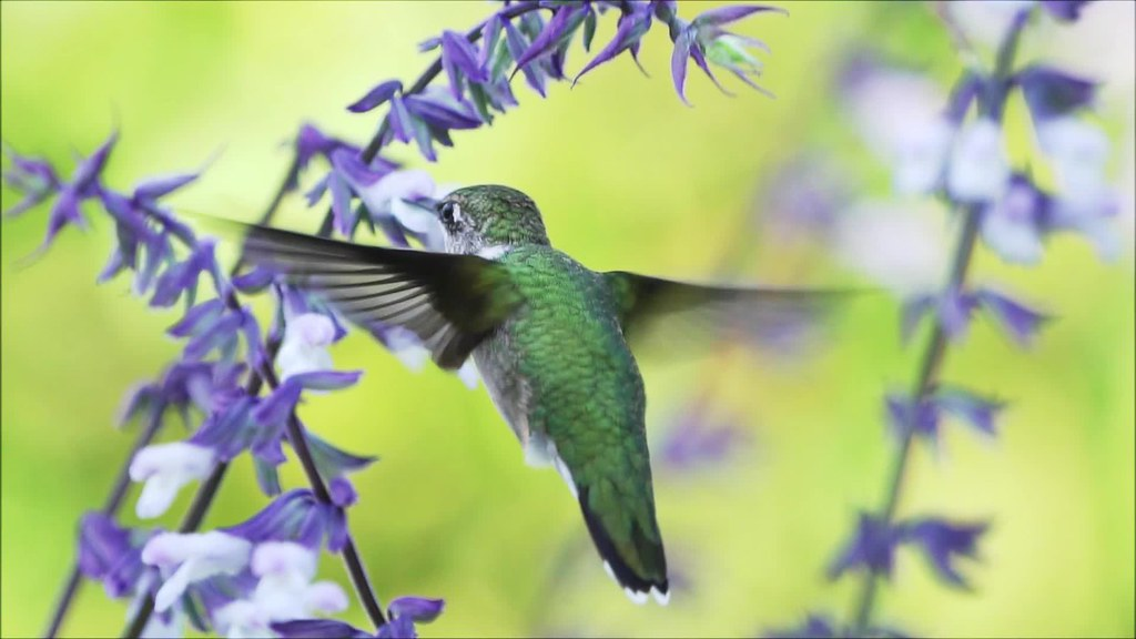 Hummingbird Slow Mo 092918 Clip 45 and 50 with music