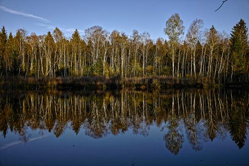 Herbstspiegelung mit Birken