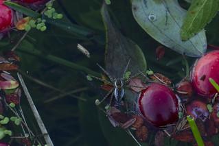 Bog Spider