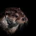 Otter Portrait by Peter Quinn1