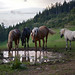 HORSES AT THE WATERHOLE
