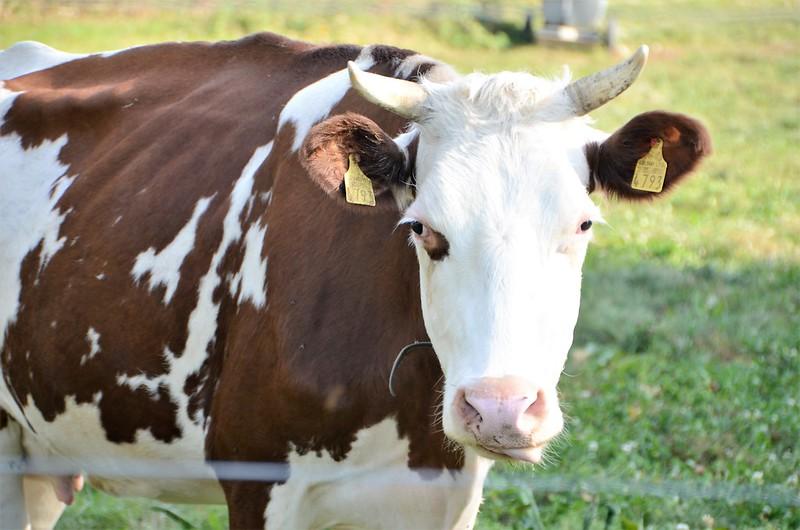 Cows 17.10 (7)
