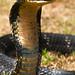 King cobra (Ophiophagus hannah) 24 by BenjaminMichaelMarshall