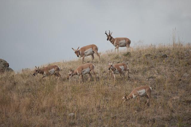 Antilopes, Nikon D3, AF-S VR Nikkor 600mm f/4G ED