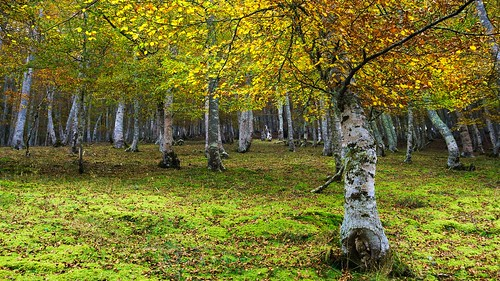 Bosque abedul otoño cantabria