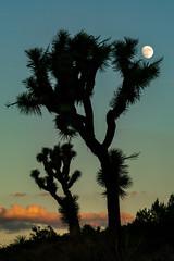 1810 Joshua Tree and Moon from the Black Rock Canyon Trail in Joshua Tree National Park