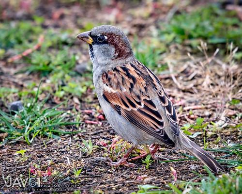 House sparrow (Passer domesticus)-2796