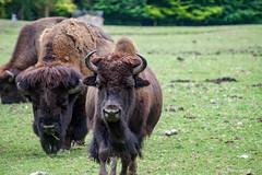 bizon - Photo of Le Breuil-en-Auge