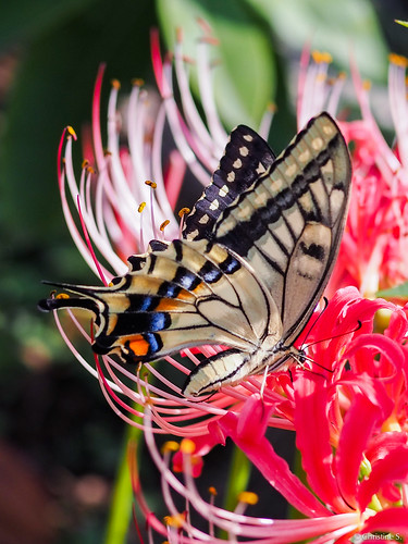 butterfly with red spider lily