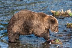 Bear 854 Divot near Brooks Falls, September 2, 2018